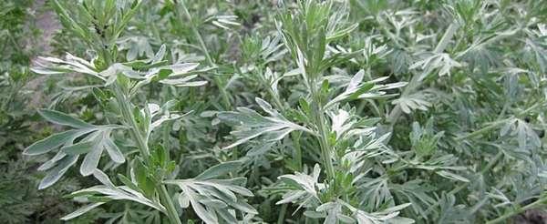 Полынь от клопов: способ применения травы