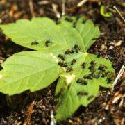 Как избавиться от муравьев в теплице навсегда — средства и препараты